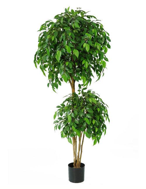 Ficus Natasha