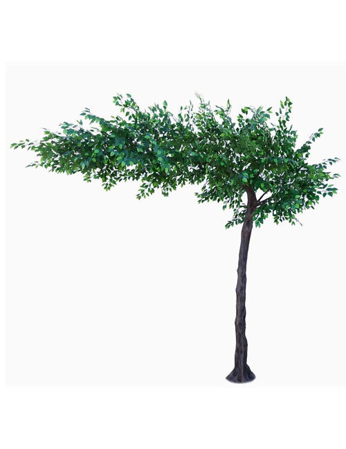 Green Ficus Canopy