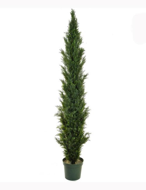 210cm Cedar Pine