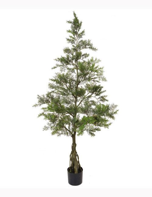 150cm Cedar Bonsai