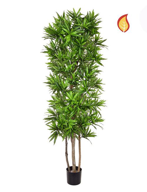 Draceana Green