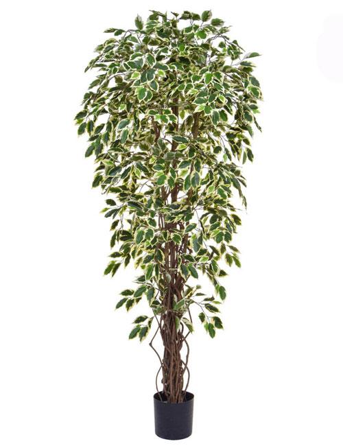 Ficus Variegated