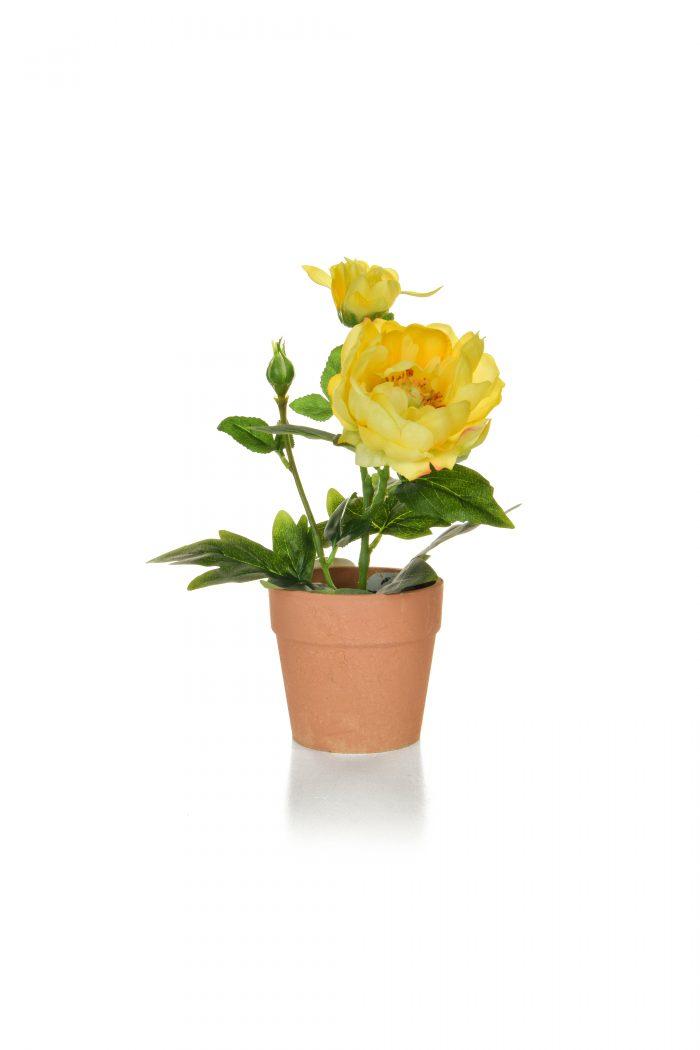 Peony in pot yellow