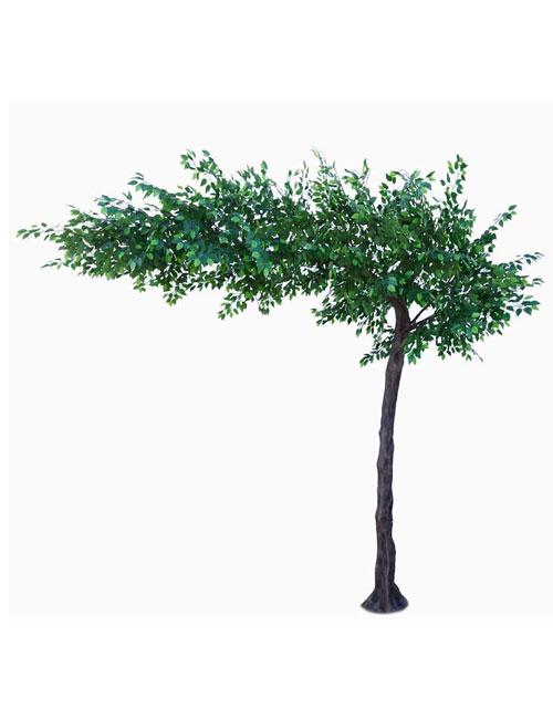 Green Ficus Canopy