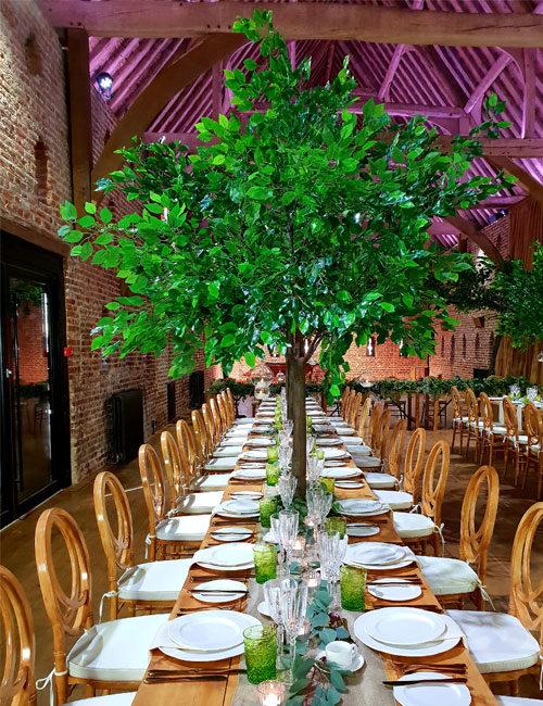 Green Ficus