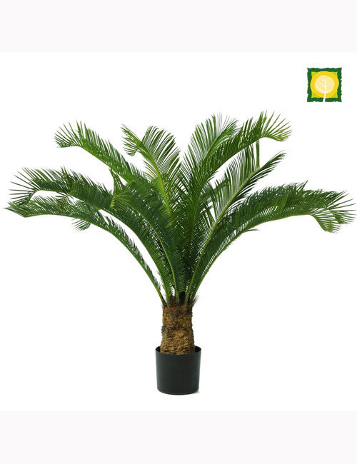 Cycas Palm Tree