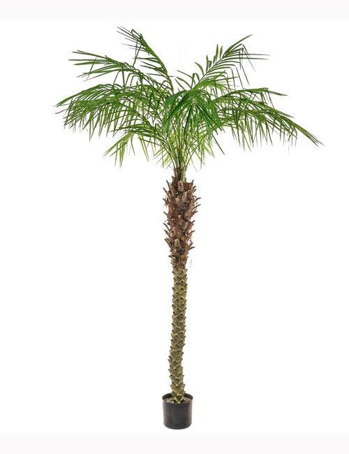 180cm Pheonix Palm