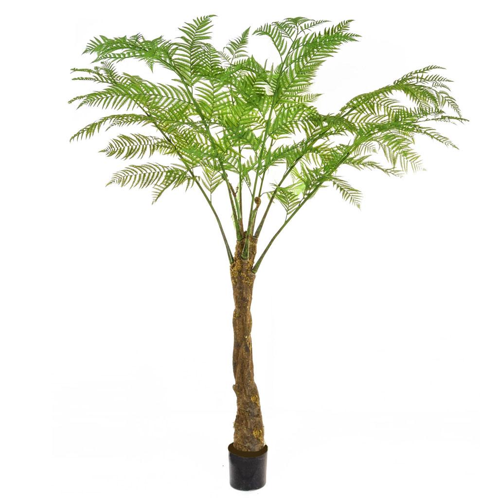Alsophila Palm Tree